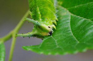 令和3年度 オオムラサキの幼虫